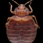 Beg Bug Treatment